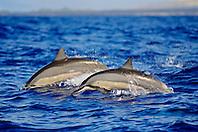 Hawaiian spinner dolphins, Stenella longirostris longirostris, porpoising, Kona Coast, Big Island, Hawaii, USA, Pacific Ocean