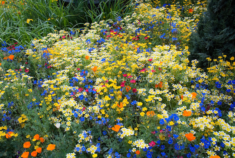 Mixed beautiful wildflowers in gold, yellow, orange, blue Phacelia, red variety of colorful blooms, Linum, California poppy Papaver californica, etc, naturalistic grandmother's old-fashioned cottage style plantings