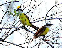 Pair of great kiskadees. What's going on here with that raised crest on one bird. A courtship display?