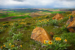 Washington, Eastern,Colfax. The rolling hills of the Palouse as viewed from Steptoe Butte with rocks and Arrow leaved balsamroot on a wet windy Spring day. HDR