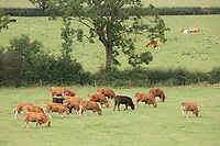 Suckler cows and calves<br /> ©Tim Scrivener Photographer 07850 303986<br />      ....Covering Agriculture In The UK....