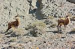Bighorn Sheep, Females, Gardner Canyon, North Entrance, Yellowstone National Park, Wyoming