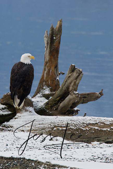 American Bald Eagle photograph Alaska