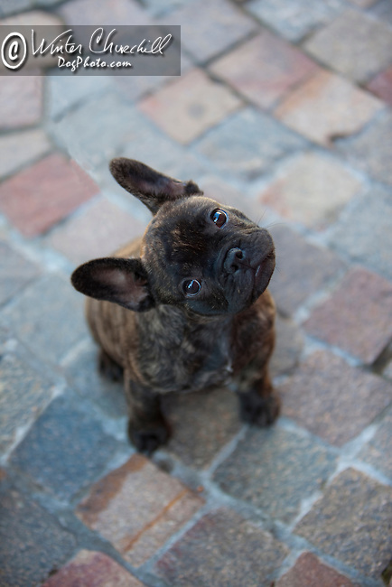 French Bulldog<br /> <br /> <br /> Shopping cart has 3 Tabs:<br /> <br /> 1) Rights-Managed downloads for Commercial Use<br /> <br /> 2) Print sizes from wallet to 20x30<br /> <br /> 3) Merchandise items like T-shirts and refrigerator magnets