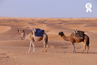 Tunisia, Ksar Ghilane, Sahara Desert, two camels, side view (Licence this image exclusively with Getty: http://www.gettyimages.com/detail/sb10065474ds-001 )