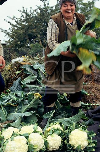 Czech Republic. Large, smiling woman harvesting cauliflowers.