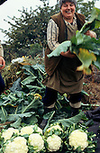 Czech Republic. Large, smiling woman harvesting cauliflowers.