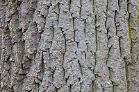 Gemeine Esche, Gewöhnliche Esche, Esche, Rinde, Borke, Stamm, Baumstamm, Fraxinus excelsior, Common Ash, European Ash, Ash, bark, rind, trunk, stem, Le Frêne commun, Frêne élevé