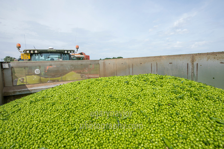Freshly harvsted peas - Lincolnshire, August