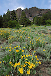 Mule ears blooming near Carson Pass