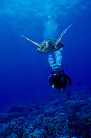 A woman scuba dives along side a Green Sea Turtle (Honu)in Hanauma Bay, Oahu.