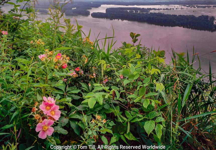 Wild roses and Mississippi River, Pikes PEak State Park, Iowa, IUowa State flower Rosa suffulta