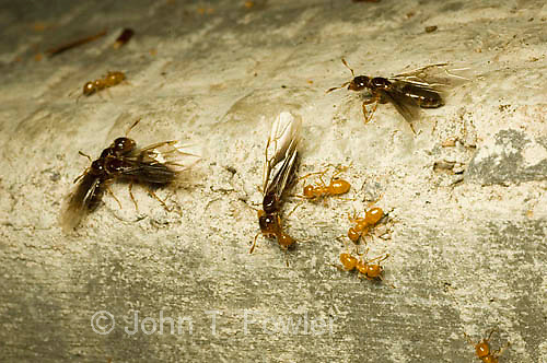 Winged carpenter ants, reproductive, Componatus pennsylvanicus, formicidae - winged adults are leaving the colony to reproduce