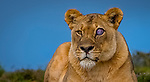 Lioness with injured eye by Sarsha Rinkovec