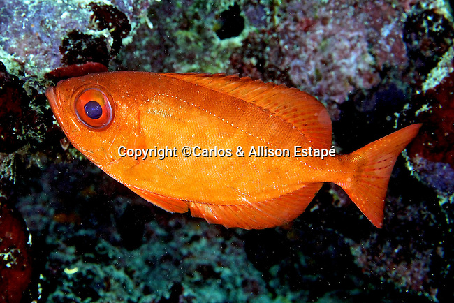 Heteropriacanthus cruentatus, Glasseye snapper, Florida Keys