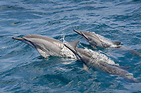 Hawaiian/Grays Spinner Dolphins, Stenella longirostris, porpoising, Maldives, Indian Ocean