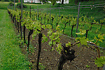 Grape vines growing close to  lake Bodensee on a grey rainy day. Birnau, Lake Bodensee, Bavaria, Germany.
