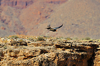 California Condor (Gymnogyps californianus) flying near Marble Canyon near est end of Grand Canyon National Park, Arizona.