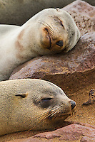 Portrait of  two Seals sleeping with their heads resting on a rock