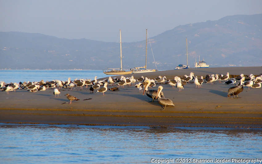 A group of birds including Pelicans, seagulls sit on the sandspit at Santa Barbara Harbor. .The central coast of California is one of the most scenic areas of the United States. The natural beauty and wildlife are abundant and breathtaking. You can find more than 200 species of birds, both land and sea birds, on this scenic and spectacular stretch of California..The National Audubon Society lists Morro Bay and the central coast of California, including Santa barbara as a Globally Important Bird Area. Thousands of migratory birds spend part of the year here..Shorebirds such as marbled godwits, willets, curlews with their long curved bills and tiny sandpipers find a bountiful feast in the mudflats of the estuary at Morro Bay. Black brant geese migrate from spots on the Alaskan shore to feed on the rich eelgrass beds. Fluttering terns, brown pelicans, graceful egrets and herons are also part of the seasonal mix...