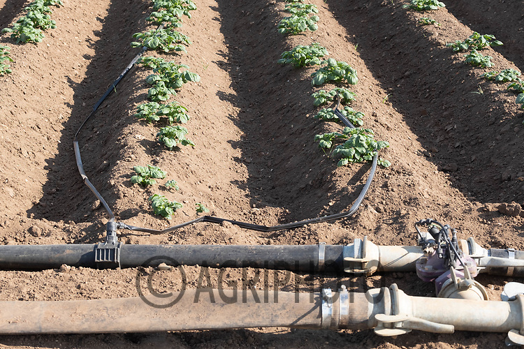 19.5.2020 Tape irrigation in potatoes growing in Lincolnshire <br /> ©Tim Scrivener Photographer 07850 303986<br />      ....Covering Agriculture In The UK....