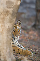 India, Bandhavgarh National Park, 17 months old Bengal tiger cub (female) looking from behind tree, early morning, dry season