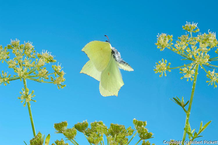 Brimstone Butterfly, Gonepteryx rhamni, in flight, UK, high speed photographic technique, free flying