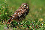 Burrowing Owl, Athene cunicularia, by nest, Florida, . .USA....