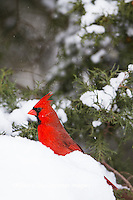 01530-21513 Northern Cardinal (Cardinalis cardinalis) male in Juniper tree (Juniperus keteleeri) in winter Marion Co. IL