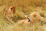 An African Lion (Panthera leo) with cub on the Masai Mara National Reserve safari in southwestern Kenya.