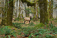 Roosevelt Elk (Cervus elaphus roosevelti) in Olympic National Park temperate rain forest.