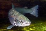 Atlantic Salmon female at base of dam.