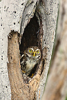 563990053 a wild ferruginous pygmy owl glassidium brasilianum peers out from a cavity nest in a tree on a private ranch in tamaulipas state mexico