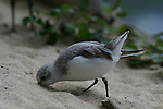 shorebird digging in sand
