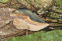 willow bracket<br /> Phellinus ignarius