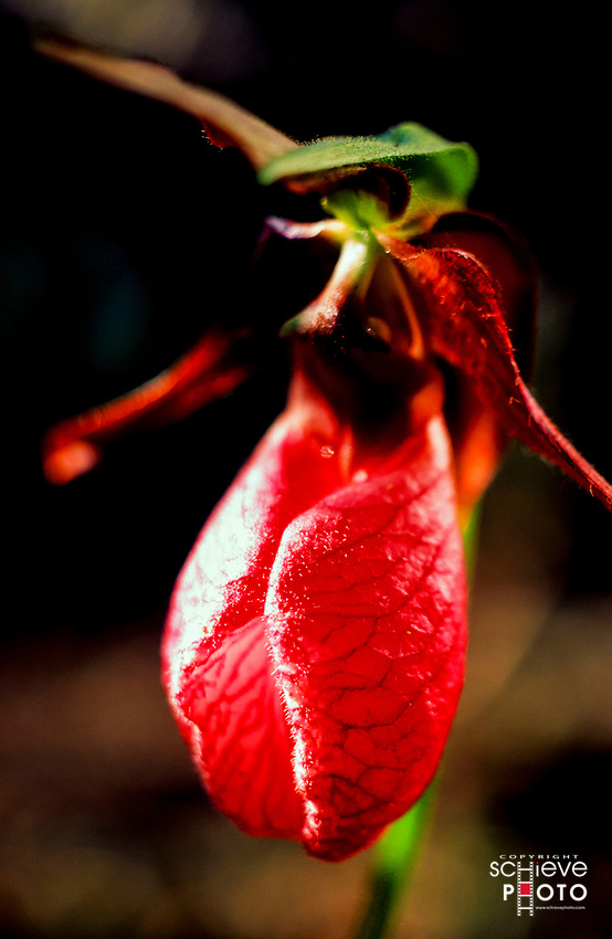 A wild Pink Lady Slipper in the Quetico Provincial Park, Canada.
