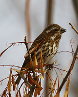 Female purple finch eating ash seeds