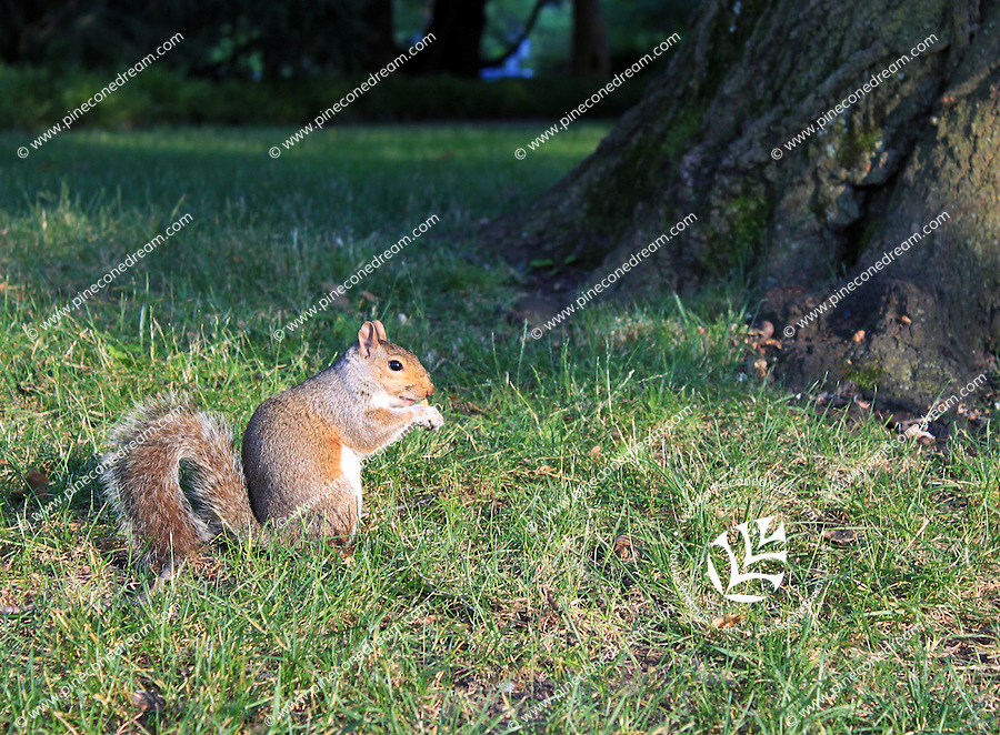 Stock photo: Beautiful squirrel eating standing in grass near a tree.