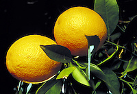 close-up of two oranges on orange tree branch.  fruit, orchard, grove, vitamin C, citrus. California.
