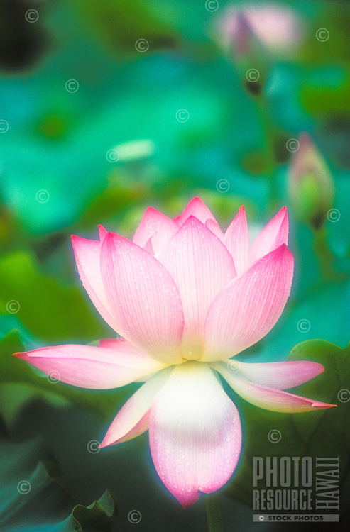 Lotus flower in bloom