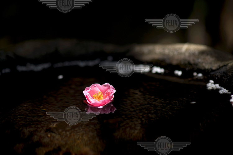 A water-lily flower in a pond in the garden of the Honen-in Temple. /Felix Features