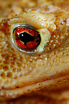 Common Toad eye (Bufo bufo), Europe.