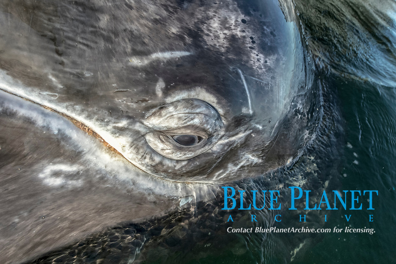 gray whale, Eschrichtius robustus, eye detail and whale lice, Baja California, Mexico, Pacific Ocean