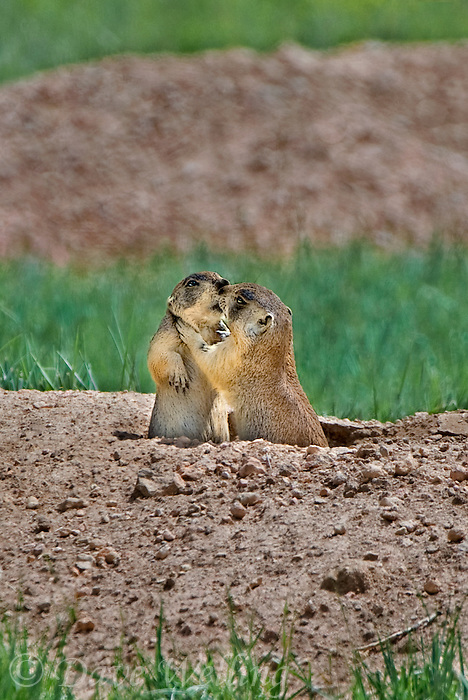 673030107v two wild utah prairie dogs cynomys parvidens interact at their den den in bryce canyon national park utah united states