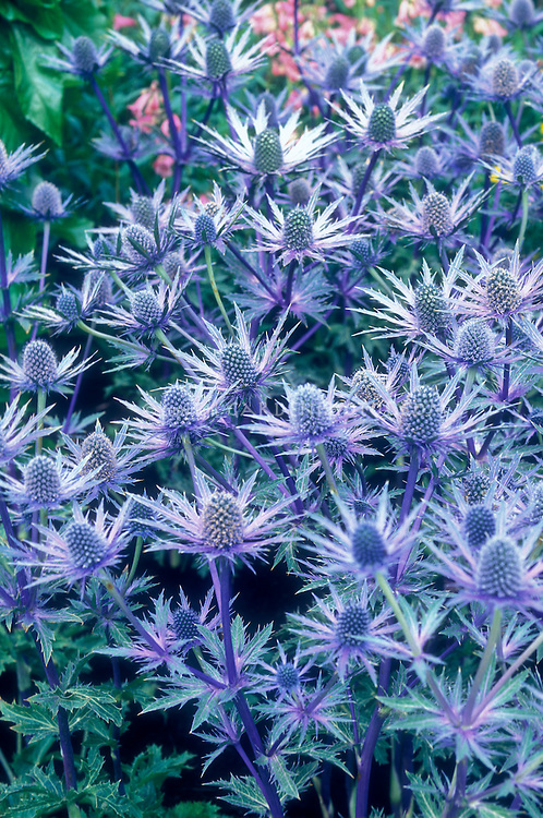 Sea Holly Eryngium Sapphire Blue spiky blue flowers