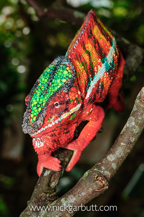 Male Panther Chameleon (Furcifer pardalis) in aggresive posture, displaying at its own reflection in a mirror. From Ambanja region, north west Madagascar.