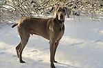 Weimaraner dog in winter.