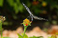 A Common Mime (Papilio clytia, form dissimilis) feeding on an orange flower. This butterfly is a Batesian mimic. (Cambodia)