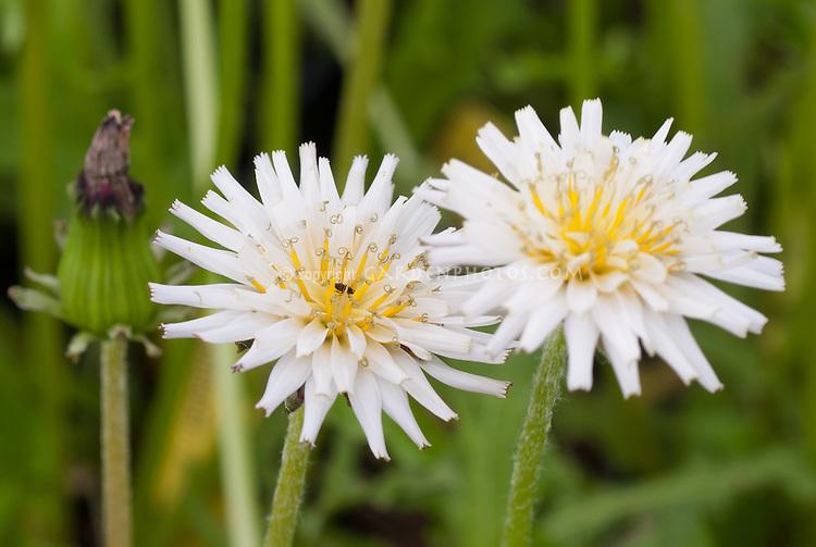 Taraxacum albidum, a species of dandelion that grows in eastern Eurasia