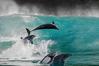 WP90449-D. Indo-Pacific Bottlenose Dolphins (Tursiops aduncus) playing in the surf, jumping in the waves breaking along the remote Wild Coast region. South Africa, Indian Ocean.<br /> Photo Copyright © Brandon Cole. All rights reserved worldwide.  www.brandoncole.com